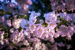 Primo piano di Cherry Blossoms Bloom rosa nel sole di primavera fotografie stock