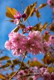 Primo piano di Cherry Blossoms giapponese rosa nel cielo blu fotografia stock