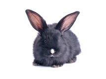 Primo piano di cibo nero sveglio del coniglio Immagini Stock Libere da Diritti