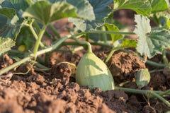 Primo piano di coltivare piccolo melone verde Immagini Stock