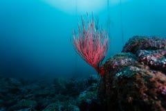 Primo piano di corallo di ramificazione rosso fotografia stock