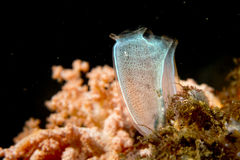 Primo piano di corallo molle Indonesia Sulawesi Fotografie Stock
