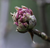 Primo piano di Dawn Viburnum Flower Bud rosa Immagine Stock