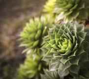 Primo piano di Echeveria, pianta succulente con le foglie verdi che formano una grande forma della rosetta vista superiore della  immagini stock