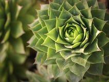 Primo piano di Echeveria, pianta succulente con le foglie verdi che formano una grande forma della rosetta vista superiore della  fotografie stock libere da diritti