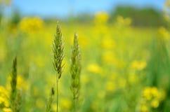 Primo piano di erba alta in un giacimento giallo del canola Immagini Stock