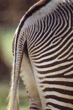 Primo piano di estremità della zebra Fotografie Stock