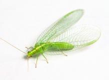 Lacewing verde di chrysopidae Fotografia Stock