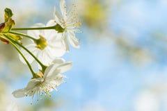 Primo piano di fioritura bianco della ciliegia, sfondo naturale contro il cielo blu con il contesto vago Con il posto per il vost Immagini Stock Libere da Diritti