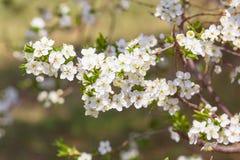 Primo piano di fioritura dei fiori fotografia stock libera da diritti