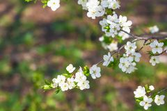 Primo piano di fioritura dei fiori della ciliegia fotografia stock