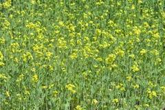 Primo piano di fioritura del fondo dell'erba della senape Fotografia Stock Libera da Diritti