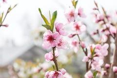 Primo piano di fioritura del giardino della ciliegia della ciliegia della primavera per la spruzzata del fondo Fotografia Stock