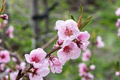 Primo piano di fioritura del giardino della ciliegia della ciliegia della primavera per la spruzzata del fondo Immagine Stock
