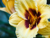 Primo piano di fioritura del giglio su fondo scuro Gigli colorati raccoglibili varietali Fotografie Stock Libere da Diritti