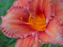 Primo piano di fioritura del giglio su fondo scuro Gigli colorati raccoglibili varietali Fotografie Stock