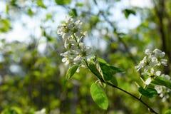 Primo piano di fioritura del ramo di albero con fondo vago fotografia stock libera da diritti