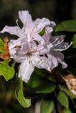 Primo piano di fioritura del rododendro in foresta nordica della Tailandia Immagini Stock