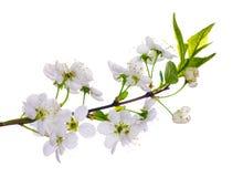 Primo piano di fioritura della ciliegia bianca Immagini Stock