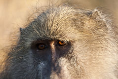 Primo piano di fissare del babbuino Fotografia Stock Libera da Diritti