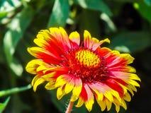 Primo piano di Gailardia del fiore Fotografie Stock Libere da Diritti