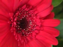 Primo piano di Gerber rosso Daisy Flower Blossom Bloom Petal Fotografia Stock Libera da Diritti