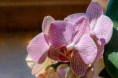 Primo piano di giallo, di rosso, il rosa e bianco barrato con l'orchidea di lepidottero del Demi Deroose delle phalaenopsis del f immagine stock libera da diritti