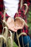Primo piano di giovane agricoltore femminile che tiene le orecchie mature del grano in mani Immagini Stock Libere da Diritti