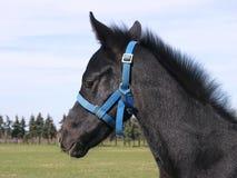 Primo piano di giovane cavallo domestico dello sfondo sulla scena rurale naturale all'aperto fotografie stock