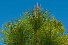 Primo piano di giovane cima d'albero del pino Fotografia Stock Libera da Diritti
