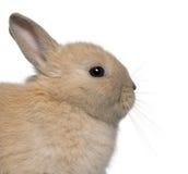 Primo piano di giovane coniglio davanti a bianco Immagini Stock