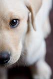 Primo piano di giovane cucciolo del Labrador Immagini Stock