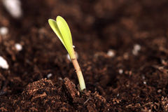 Primo piano di giovane erba verde fresca nel suolo Fotografia Stock Libera da Diritti