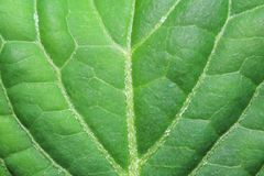 Primo piano di giovane foglia verde di un macrophylla dell'ortensia Fotografia Stock