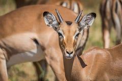 Primo piano di giovane impala maschio che affronta macchina fotografica Fotografia Stock
