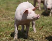 Primo piano di giovane maiale sveglio sulla fattoria degli animali all'aperto Immagine Stock Libera da Diritti
