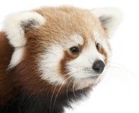 Primo piano di giovane panda rosso o del gatto brillante Immagine Stock