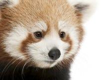 Primo piano di giovane panda rosso o del gatto brillante Immagini Stock Libere da Diritti