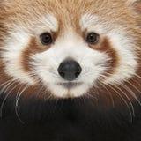 Primo piano di giovane panda rosso o del gatto brillante Fotografia Stock Libera da Diritti