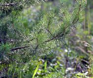 Primo piano di giovane ramo di pino Luce del giorno fotografia stock