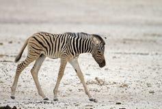 Primo piano di giovane zebra Fotografia Stock Libera da Diritti