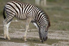 Primo piano di giovane zebra Immagine Stock Libera da Diritti
