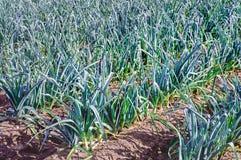 Primo piano di giovani piante del porro coltivate in suolo Fotografia Stock Libera da Diritti