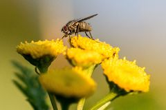 Primo piano di grande mosca su un fiore Fotografie Stock