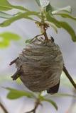 Primo piano di grande nido attivo della vespa del yellowjacket Fotografia Stock Libera da Diritti