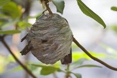 Primo piano di grande nido della vespa del yellowjacket Fotografia Stock Libera da Diritti
