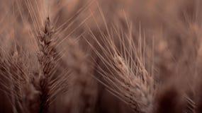 Primo piano di grano nel campo Fotografia Stock Libera da Diritti