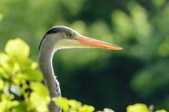 Primo piano di Grey Egret fotografia stock