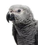 Primo piano di Grey Parrot africano (3 mesi) isolato sul whi Immagine Stock Libera da Diritti