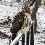 Primo piano di Hawk Perched selvaggio su una ferrovia Fotografie Stock